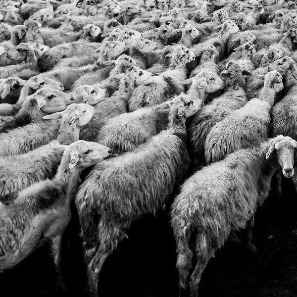 Gregge | © Davide Ragusa
