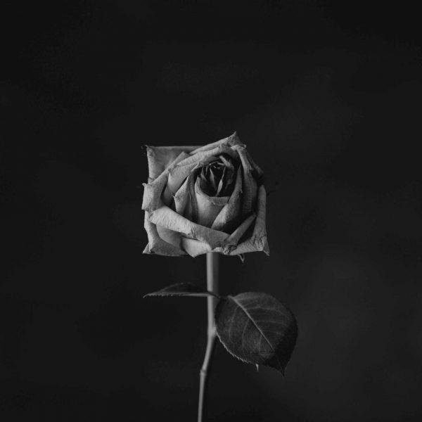 Rosa morente | © Sharon McCutcheon