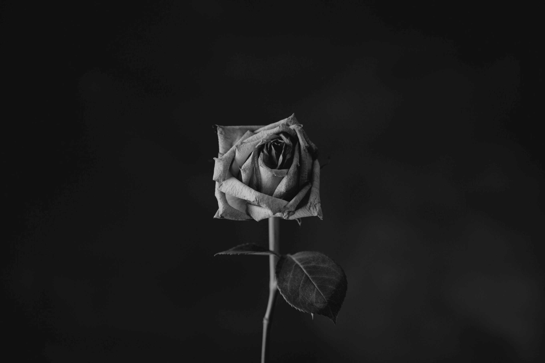 Rosa morente   © Sharon McCutcheon