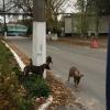 Černobyl', cani randagi in città